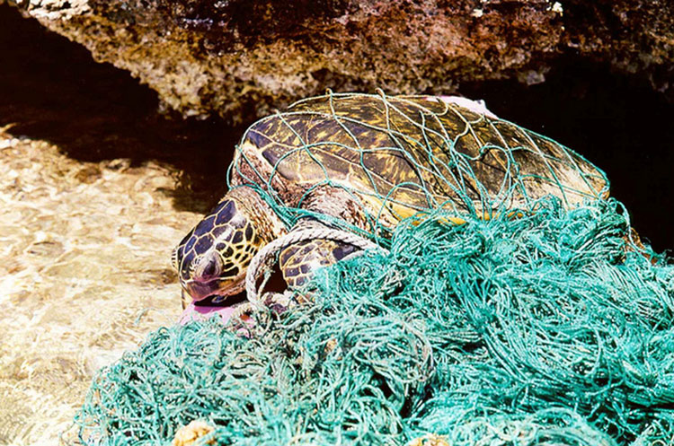 Marine debris can entangle and harm marine organisms. For air-breathing organisms, such as the green sea turtle, entanglement in debris can prevent animals from being able to swim to the surface, causing them to drown.
