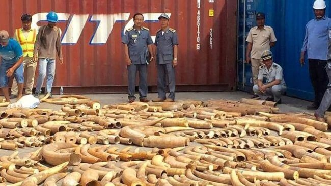 3.2 Tonnes Of Mozambican Ivory Found From Hidden Storage Container In Cambodia 5