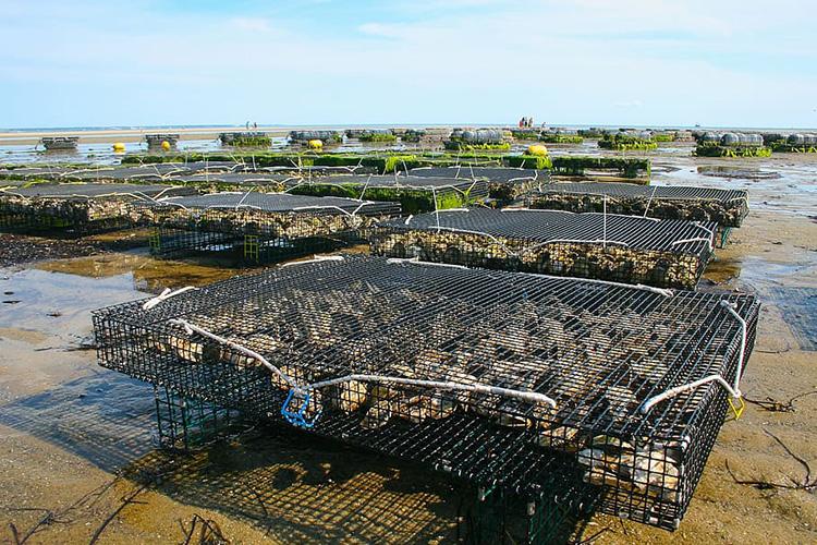Oyster Farm - Aquaculture